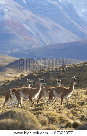 Herd of Guanaco (Lama guanicoe) grazing on a hillside in Torres del Paine National Park in the Magallanes region of southern Chile.