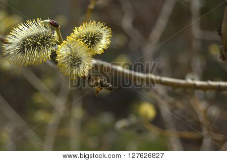 Flowering pussy-willow branch with flying bee. Blooming osier. Spring background photo.