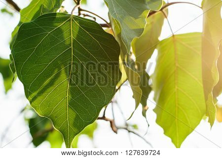 green bodhi tree leaves in the woods