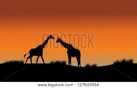 Silhouette of two giraffe in fields at the afternoon