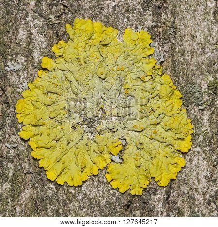 Lichen Xanthoria parientina on aspen tree bark macro selective focus