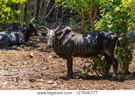Zebu (sometimes known as humped cattle) Madagascar