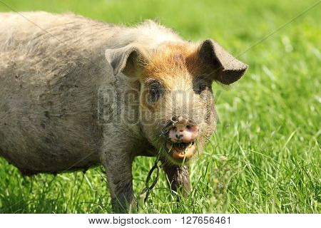 portrait of a funny pig grazing near the farm