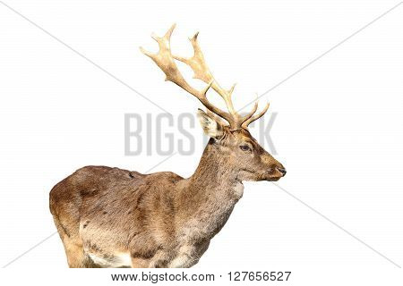 young fallow deer male isolated over white background ( Dama dama )
