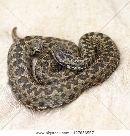 female meadow viper laying on herpetological burlap bag ( Vipera ursinii rakosiensis the rarest snake in Europe )