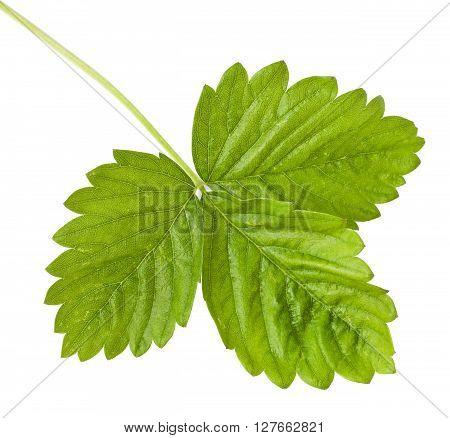 Wild strawberry leaf isolated on white background