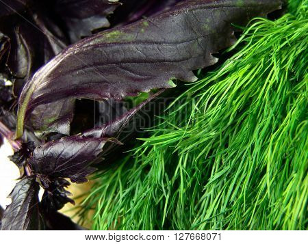 Parsley or garden parsley (Petroselinum crispum) is a species of Petroselinum in the family Apiaceae, native to the central Mediterranean region (southern Italy, Algeria, and Tunisia), naturalized elsewhere in Europe, and widely cultivated as a herb, a sp