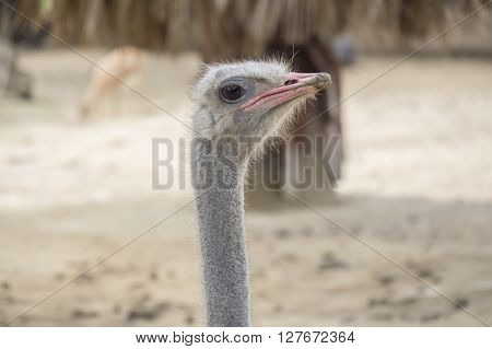 Struthio camelus head Ostrich head, resting relaxed under the sun