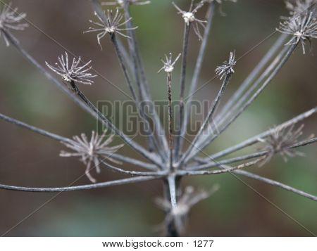 Wintery Flower Head