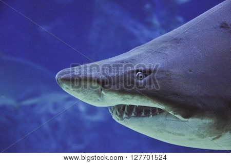sand tiger shark (Carcharias taurus) underwater close up portrait - close up shot