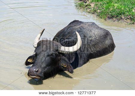 Buffalo In A Swamp