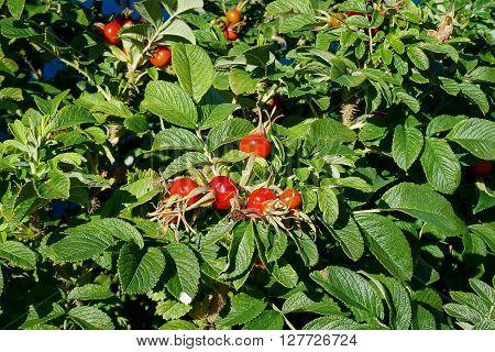 Rosehips bush with fruits. Dog rose, rosa canina.