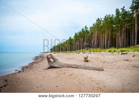 Abandoned beach of Liepaja Latvia with pinetrees