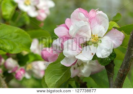Apple blossom in springtime with pink and white flowers