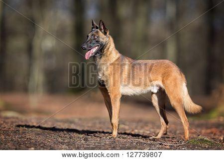 Purebred Belgian Malinois Dog