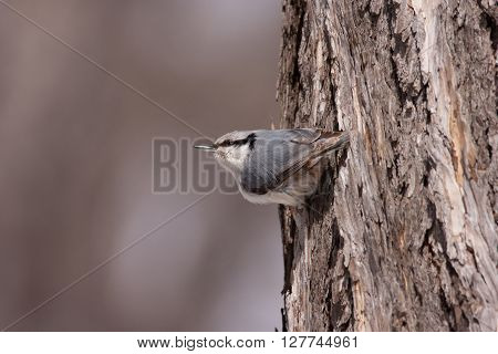 Eurasian nuthatch sitting on the bark of a tree