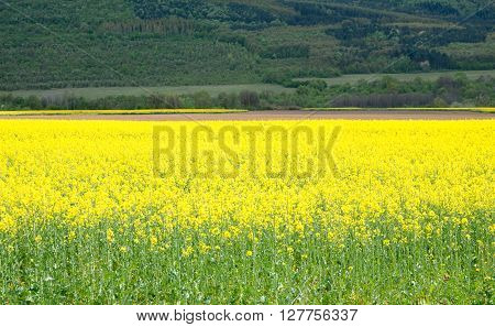 Flowering canola. Agricultural field with blooming canola.