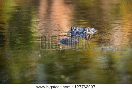 Large Alligator