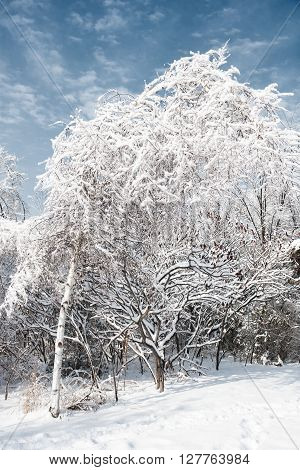 trees covered with snow and ice in winter after an ice storm
