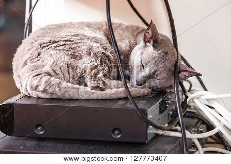 Animals at home. Egyptian mau cat sleeping indoor on electronic equipment
