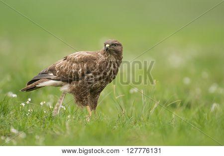 Common Buzzard