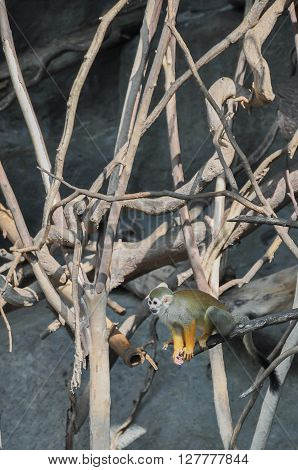 Common squirrel monkeys (Saimiri sciureus) readying to jump