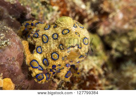 A deadly blue-ringed Octopus displays its warning colours on a tropical coral reef.