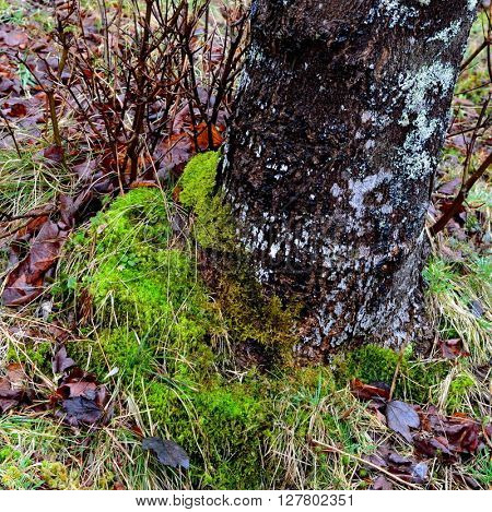 Damp Green Moss at base of Tree Trunk