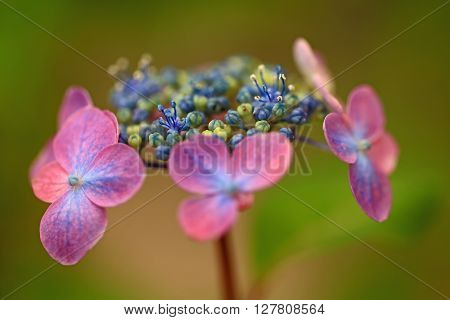 The beautiful hydrangea which colors early summer.