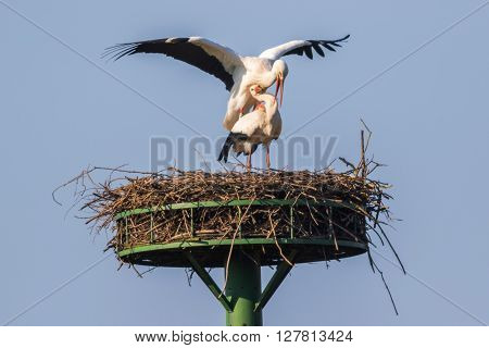 A couple of white storks by the copulation