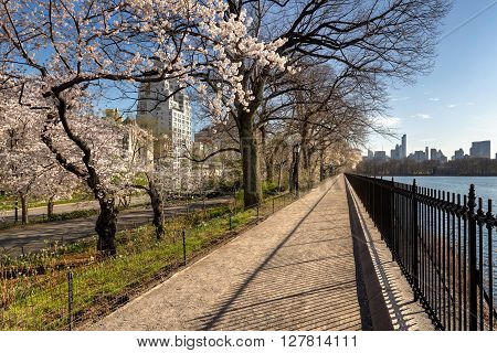 Spring with Yoshino cherry trees along the Jacqueline Kennedy Onassis Reservoir in Central Park. Quiet afternoon on the Upper East Side, New York City