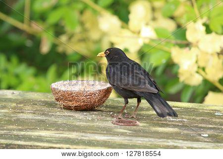 male blackbird feeding in the garden from a coconut feeder