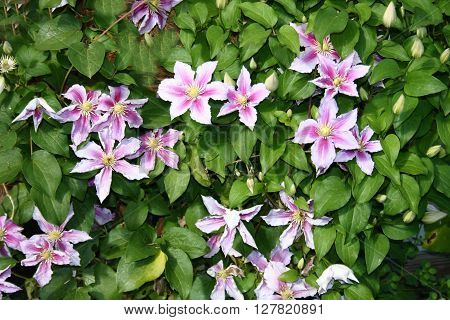 Closeup of a pink flowering clematis (Clematis)