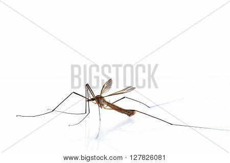 A mosquitoes stallion isolatet on a white background.