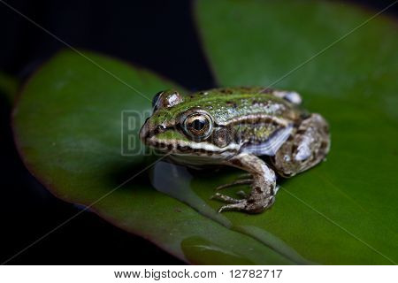 green frog reflected