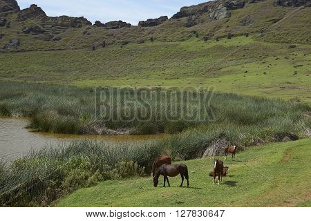 Rano Raraku. Horses grazing around the lake in the crater of the extinct volcano which was the quarry from which the Moai statues of Rapa Nui (Easter Island) were carved.