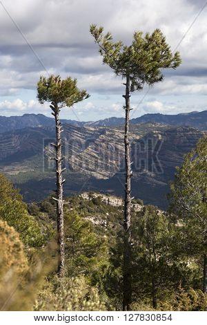 Tree on the peak. Teruel province. Spain