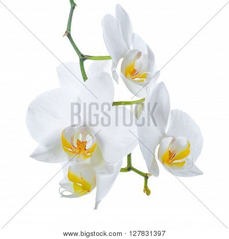 Beautiful Branch Of Blooming White With Yellow Orchid Flower, Phalaenopsis Is Isolated On White Back