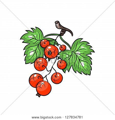 Vector red currant illustration. Currant with leafs isolated on white background. Vector sketch hand drawn fruit - stock vector