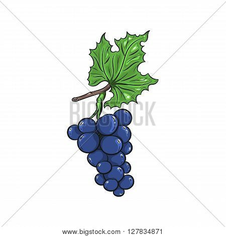 Vector grapes illustration. Grapes isolated on white background. Vector sketch hand drawn fruit - stock vector