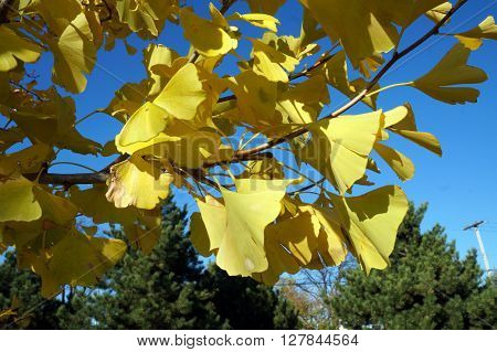 Yellow leaves of a gingko tree (Gingko biloba) during November in the Wildflower Park of Naperville, Illinois.
