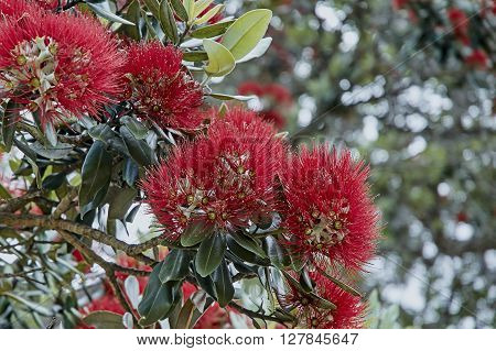 Pohutukawa flowers  blooming on a tree  against a background of gree