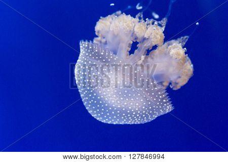 Closeup Australian Spotted Jellyfish, Phyllorhiza Punctata