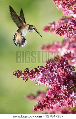 Hummingbird Hovering on Lilac over bright summer background