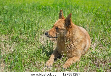 Mixed breed dog lying in the grass under warm summer sun