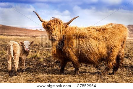 Scottich Highland Cow and Calf looking at the camera