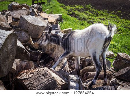black and white young hornless domestic goat nibbling dry bark from cut tree trunks at farm