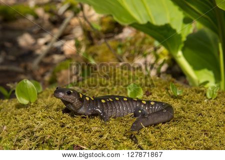 A Spotted Salamander crawling over a bed of moss at the edge of a vernal pool during breeding season.