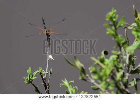 Dragonly sitting on branch among green leafs. Okavango Delta of Botswana Africa.