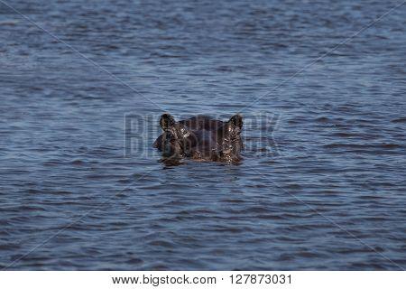 Head of hippo (hippopotamus) just above the water in the Okavango Delta of Botswana Africa.